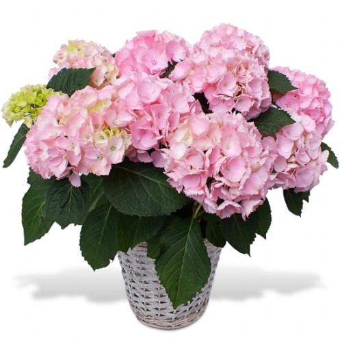 Au Coin De Ma Rue Courses En Ligne Hortensia En Fleurs
